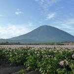 羊蹄山と芋畑