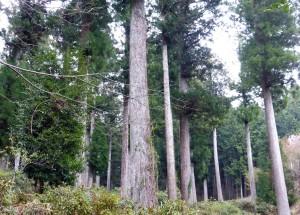 古橋・天保の植林