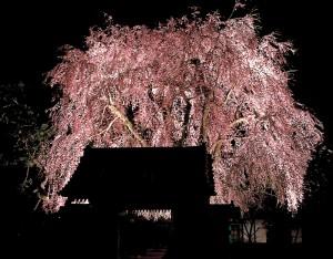 増泉寺の夜桜